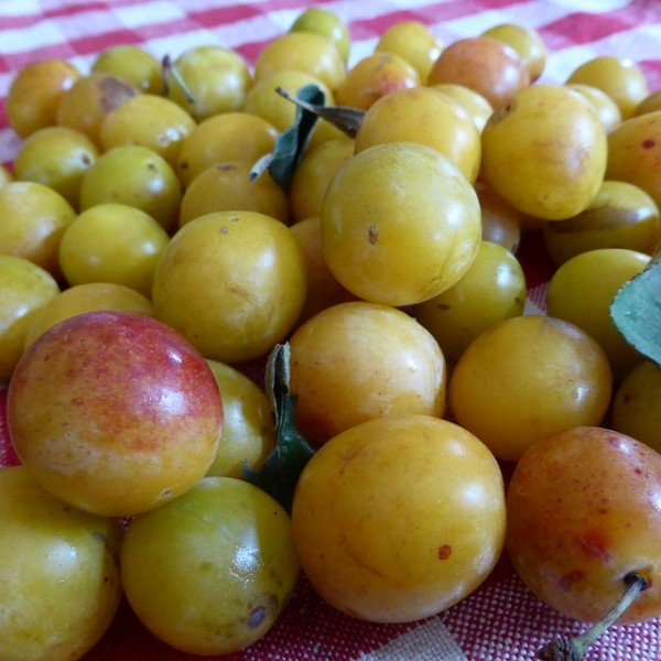 Prune jaune Reine Claude d'Oullins