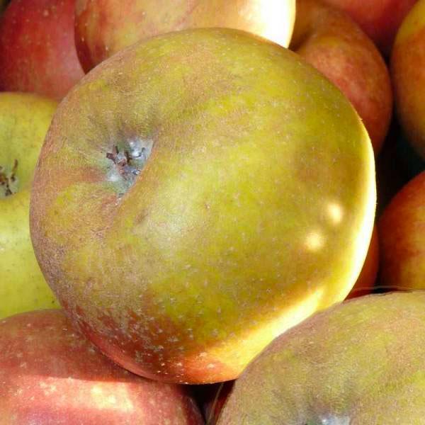 Pomme reinette d'armorique (115-135g)(variété ancienne)