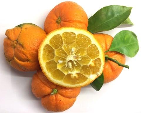 Orange amère à marmelade
